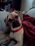 Mr.Puggles - Male Puggle (1 year)