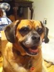 Tonka - Male Puggle (9 years)