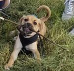 Milo - Male Puggle (3 months)