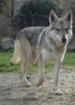 BACKAL DU DOMAINE DE LA COMBE NOIRE FEMELLE - Czechoslovakian Wolfdog