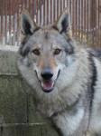 Cash - Czechoslovakian Wolfdog