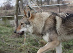 Cash - Etalon - Czechoslovakian Wolfdog