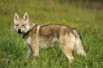 CHILI DU DOMAINE DE LA COMBE NOIRE - Czechoslovakian Wolfdog