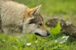 VAICKO PASSO DEL LUPO - Czechoslovakian Wolfdog