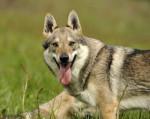 YENCO DU DOMAINE DE LA COMBE NOIRE - Czechoslovakian Wolfdog