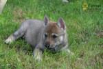 Chouquette - Czechoslovakian Wolfdog (3 months)