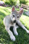 Cooper - Male Czechoslovakian Wolfdog (4 months)