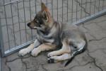 Jango - Male Czechoslovakian Wolfdog (3 months)