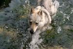 Damian - Male Czechoslovakian Wolfdog (1 year)