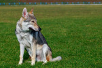 Czechoslovakian Wolfdog picture