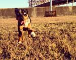 Lassie - Catahoula cur (5 years)