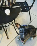 Milo - Male Catahoula cur (2 years)