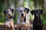 Catahoula cur picture