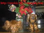 Russkiy toy/petit chien russe/ Alise et Darsik - Russkiy Toy