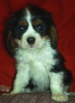 Skye - King Charles Spaniel (9 months)