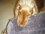 charlie - Male King Charles Spaniel (4 years)