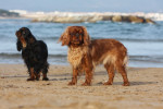 King Charles Spaniel picture