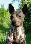 American Hairless Terrier -