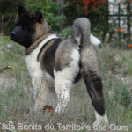 Isla Bonita du Territoire des Ours - American Akita