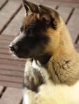 Portrait Isla Bonita du Territoire des Ours - American Akita