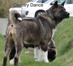 Country Dance du Territoire des Ours - American Akita