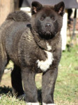 Holly du Territoire des Ours - American Akita