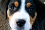 Annie - Greater Swiss Mountain Dog (4 months)