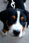 Max - Male Greater Swiss Mountain Dog (4 months)