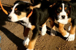 Max and Annie - Male Greater Swiss Mountain Dog (4 months)