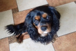 Cody - Male Cavalier King Charles Spaniel (1 year)