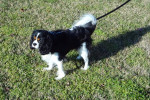 Peyton - Cavalier King Charles Spaniel (2 years and 3 months)