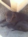 zippo - Male Plott Hound (3 years)