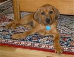 Sundae - Redbone Coonhound (3 months)
