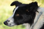 linda - Redbone Coonhound