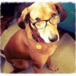 Myra - Redbone Coonhound (7 years)