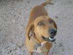 zeezee - Redbone Coonhound (7 years)