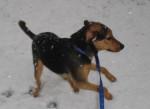 banjo - Male Redbone Coonhound (5 years)