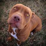 Shasta - Male Redbone Coonhound (2 years)