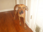 Ruby - Redbone Coonhound (2 years)