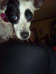 Jasmin - Rat Terrier (1 year)