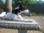 boudin - Male Rat Terrier (1 year)