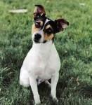 Abby - Rat Terrier (4 years)