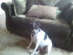 Lucy - Rat Terrier (5 years)