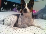 Niko - Male Rat Terrier (5 years)