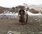 Mongolian Bankhar picture