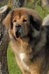 Ogurr - Tibetan Mastiff