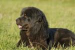 Quincy - Tibetan Mastiff