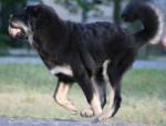 Zodd - Male Tibetan Mastiff (5 months)