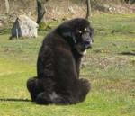 Zodd - Male Tibetan Mastiff (4 months)