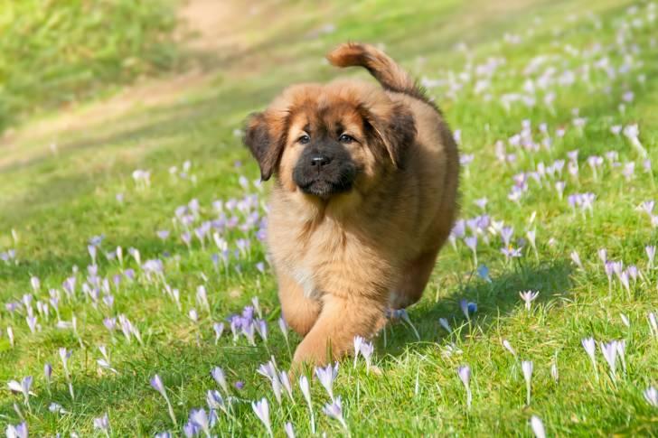 Tibetan Mastiff picture